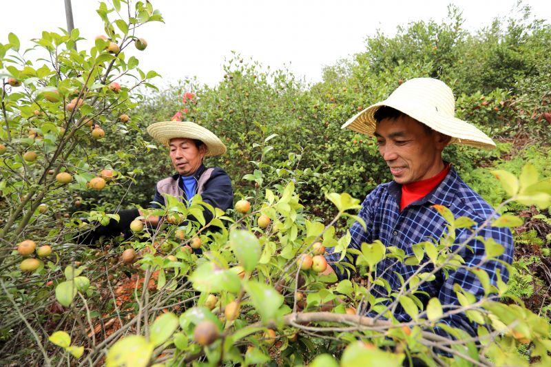 江西峡江:油茶喜获丰收  志愿服务助采摘