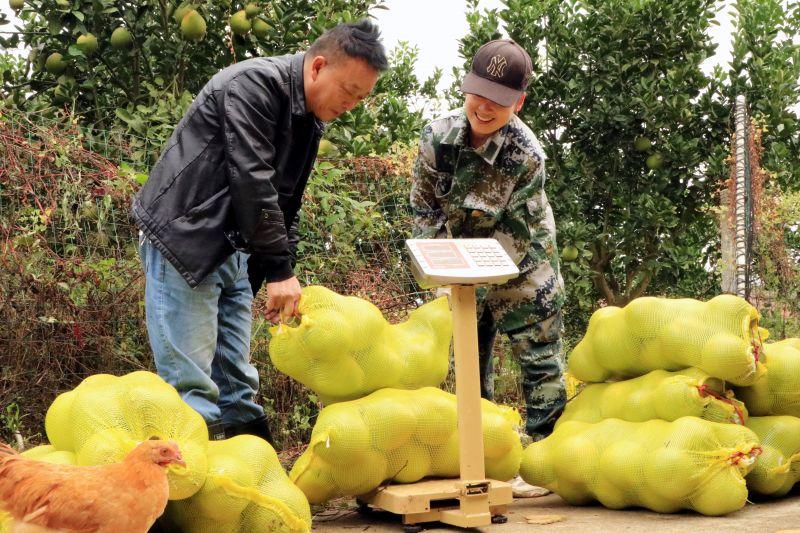 江西永新:柚丰收 产业旺 人开颜