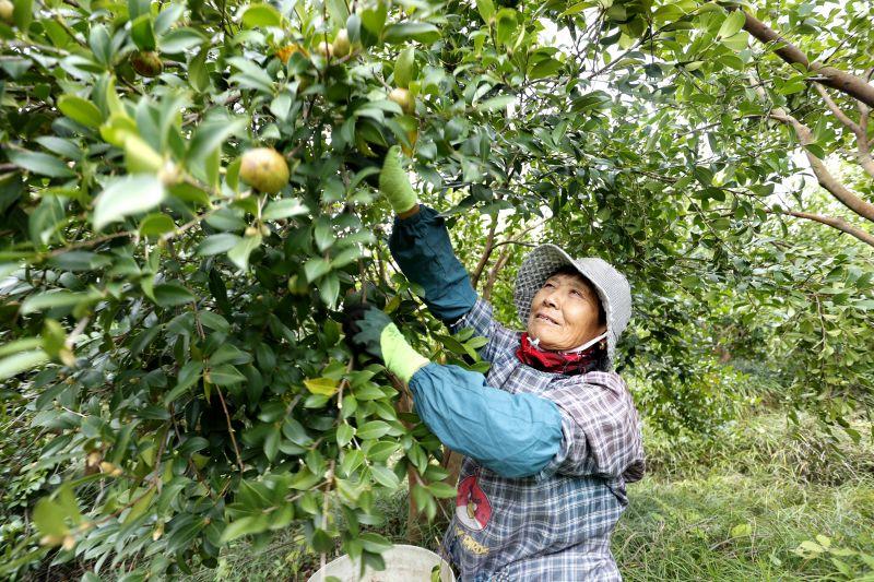 江西湖口:油茶丰收