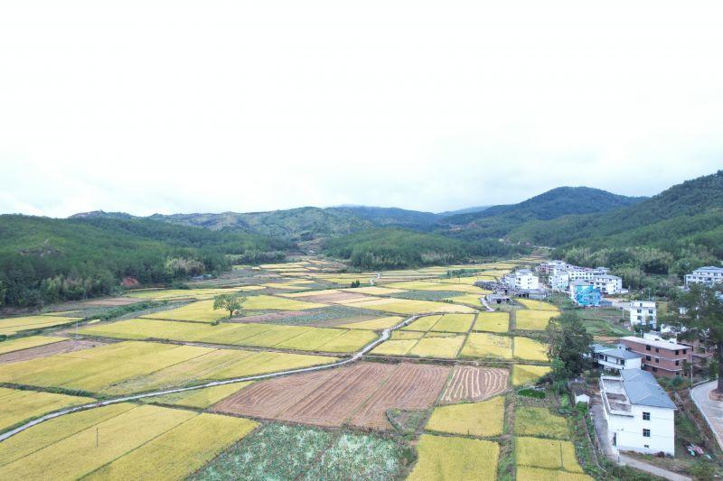 """江西石城:金色田园""""丰""""景如画"""