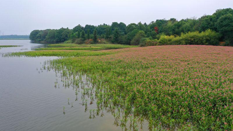 江西泰和:蓼子花开湿地美