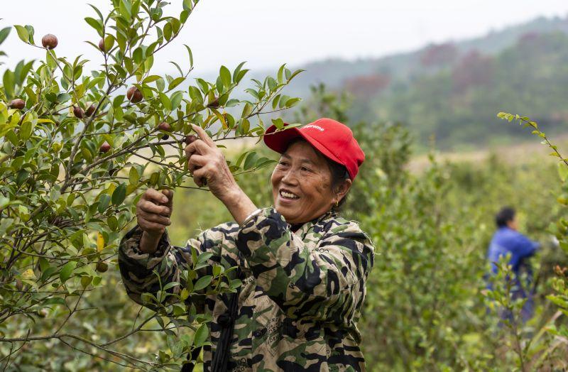 江西吉水:油茶染秋 满山飘香庆丰收