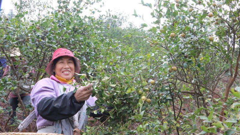 【视频】江西遂川:油茶果丰收农户采摘忙